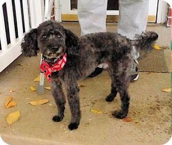 Poodle (Miniature) Mix Dog for adoption in Ogden, Utah - Ghetti