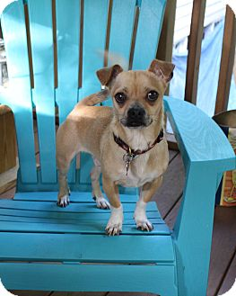 Chihuahua/Pug Mix Dog for adoption in Nashville, Tennessee - Perky