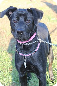 Labrador Retriever Mix Dog for adoption in Waldorf, Maryland - Sheba