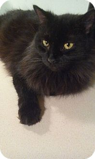 Domestic Longhair Cat for adoption in Concord, North Carolina - Jackson