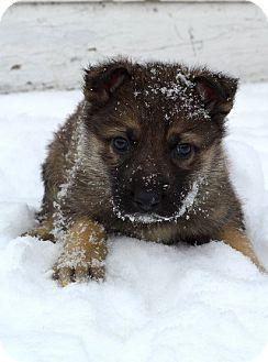 German Shepherd Dog Mix Puppy for adoption in Winnipeg, Manitoba - RIKON
