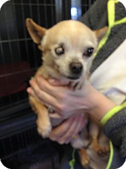 Chihuahua Dog for adoption in Newburgh, Indiana - Bella