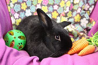 Lionhead Mix for adoption in Erie, Pennsylvania - Dolly