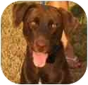 Labrador Retriever Mix Dog for adoption in Claymont, Delaware - Lily