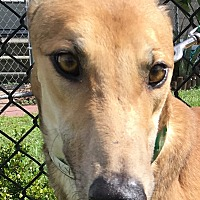 Greyhound Dog for adoption in Longwood, Florida - NB's Brilliant
