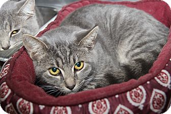 Domestic Shorthair Cat for adoption in Marietta, Ohio - Bert (Neutered)