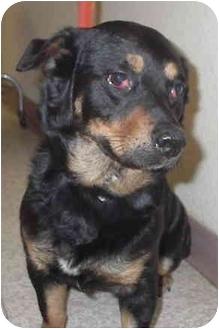 Corgi/Rottweiler Mix Dog for adoption in Sacramento, California - Jewell!
