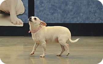 Chihuahua Mix Dog for adoption in Rockford, Illinois - Max & Gidget