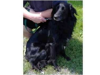 Flat-Coated Retriever/Collie Mix Dog for adoption in Huntingdon, Pennsylvania - Pepper