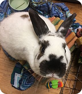 Mini Lop Mix for adoption in Edinburg, Pennsylvania - Arianna