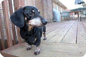 Dachshund Dog for adoption in Decatur, Georgia - Donovan