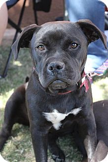 Pit Bull Terrier/Labrador Retriever Mix Dog for adoption in Wichita Falls, Texas - Little Dude