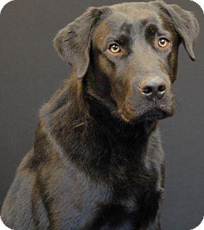 Labrador Retriever Dog for adoption in Newland, North Carolina - Flynn