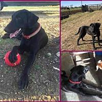 Adopt A Pet :: SHELBY - Waco, TX