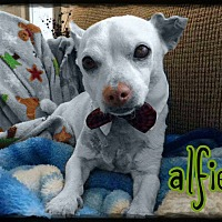 Adopt A Pet :: Alfie - Valley Stream, NY