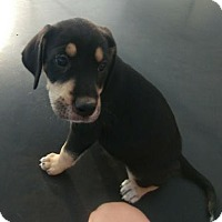 Hound (Unknown Type) Mix Puppy for adoption in Brooklyn Center, Minnesota - Moana