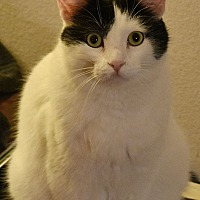 Adopt A Pet :: Sergei - Rancho Cucamonga, CA