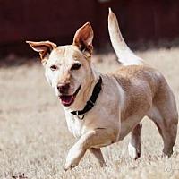 Adopt A Pet :: Carlie - Westminster, MD