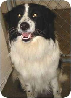 Border Collie Dog for adoption in Jacksonville, Arkansas - Dodge