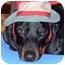 Photo 4 - Dachshund Dog for adoption in Colleyville, Texas - Dodger