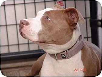 American Bulldog/Weimaraner Mix Dog for adoption in West Los Angeles, California - Rose