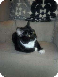 Domestic Shorthair Cat for adoption in San Ramon, California - Angus