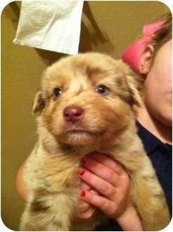 Labrador Retriever/Australian Shepherd Mix Puppy for adoption in Baton Rouge, Louisiana - Gunnar