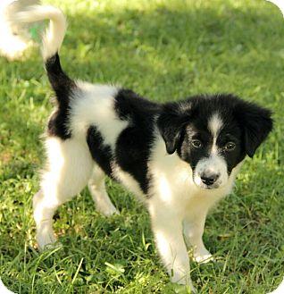 Border Collie Mix Puppy for adoption in Foster, Rhode Island - Gabby
