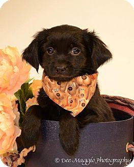 Shih Tzu/Poodle (Miniature) Mix Puppy for adoption in Davison, Michigan - Boston