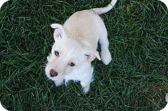 Westie, West Highland White Terrier Mix Puppy for adoption in Ft. Collins, Colorado - Gilligan