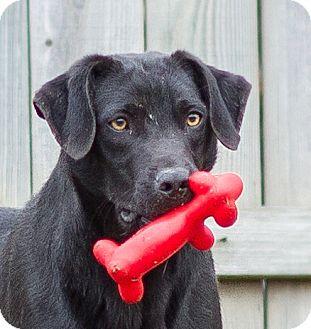 Labrador Retriever/Hound (Unknown Type) Mix Dog for adoption in Hot Springs, Arkansas - Braydon
