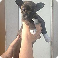 Adopt A Pet :: Balto - Encinitas, CA