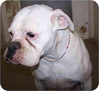 Boxer Dog for adoption in Old Fort, North Carolina - Sneezy