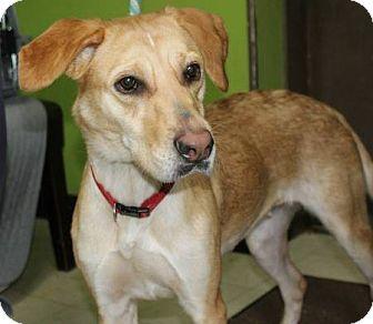 Labrador Retriever Mix Dog for adoption in Lasalle, Illinois - Dixie