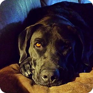 Labrador Retriever Dog for adoption in Phoenix, Arizona - Winston