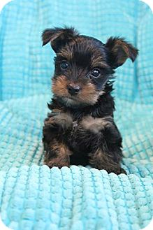 Yorkie, Yorkshire Terrier Mix Puppy for adoption in Hagerstown, Maryland - Porter