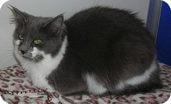 Domestic Mediumhair Cat for adoption in Dunkirk, New York - Holly