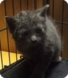 Russian Blue Kitten for adoption in Forest Hills, New York - Beatrice