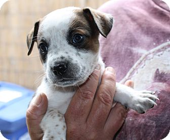 Cattle Dog Mix Puppy for adoption in San Francisco, California - FLINSTONES LITTER
