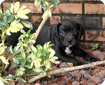 American Staffordshire Terrier/Labrador Retriever Mix Puppy for adoption in Wellington, Florida - HEARTS