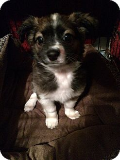 Pomeranian Mix Puppy for adoption in Lodi, California - Ricky