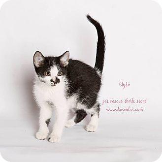 Domestic Shorthair Kitten for adoption in Riverside, California - Clyde