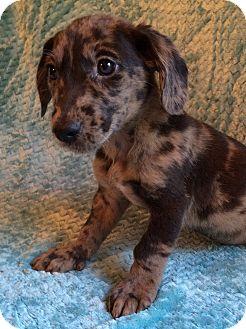 Dachshund/Border Collie Mix Puppy for adoption in Kittery, Maine - Jude