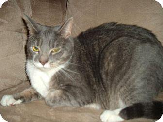 Domestic Shorthair Cat for adoption in Walnutport, Pennsylvania - Jolene