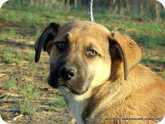 Anatolian Shepherd/Shepherd (Unknown Type) Mix Puppy for adoption in Waterbury, Connecticut - DUKE/ADOPTED