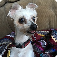 Adopt A Pet :: Izzy - Clayton, CA