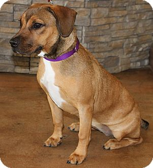 Beagle/Pit Bull Terrier Mix Puppy for adoption in Waldorf, Maryland - Lady Bug