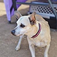 Chihuahua/Miniature Pinscher Mix Dog for adoption in Santa Monica, California - Ariel