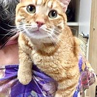 Adopt A Pet :: Marmalade - Napa, CA