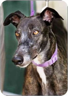 Greyhound Mix Dog for adoption in Lexington, South Carolina - Mitzi